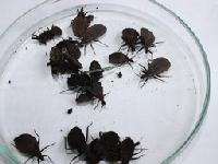 Hàng chục ổ bọ xít 'hút máu người' tấn công Hà Nội